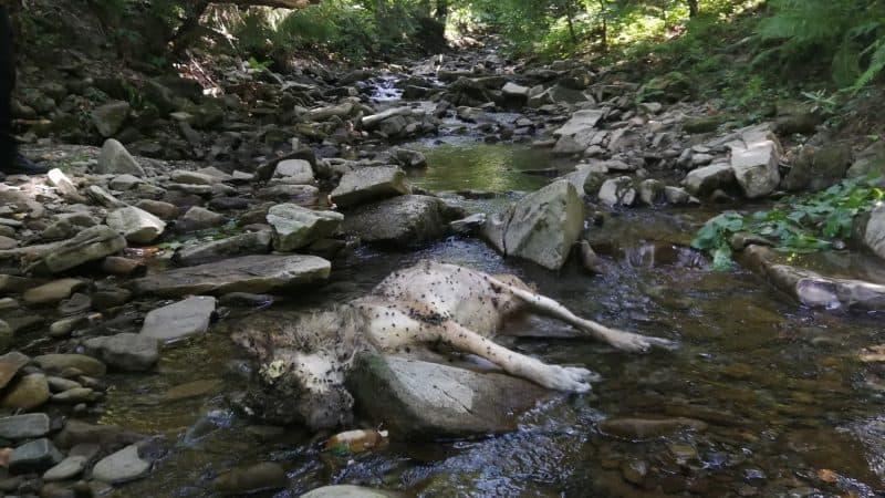 """Martwy wilk, zdjęcie: Stowarzyszenie dla Natury """"Wilk"""""""
